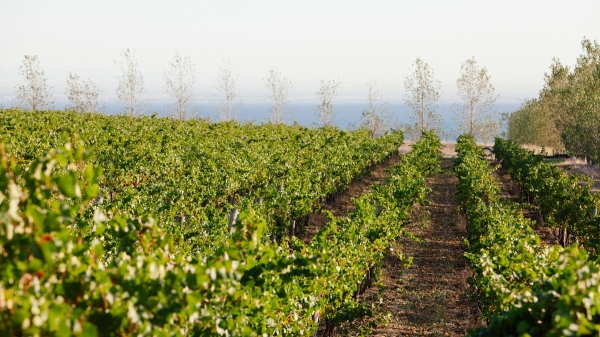 Scotchmans Hill vines
